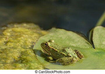 A green frog sitting in the pond full of water lilies