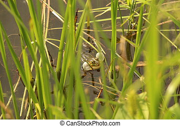 A green frog with inflated throat bubbles sits in the water among the grass. Common view of the common frog.