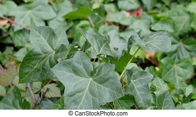 A green ivy hedera plant in a lawn