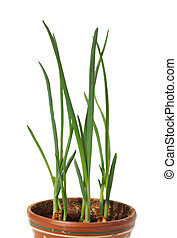 A green onion grows in a pot.