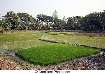 A green paddy field in India