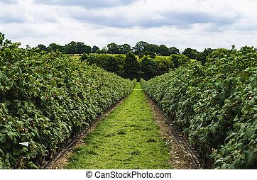 a green path between raspberry bushes