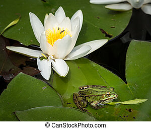 A green pool frog sitting on a leaf of a water lily