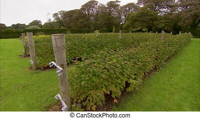 A green raspberry farm in Ireland - A pan to right shot of...