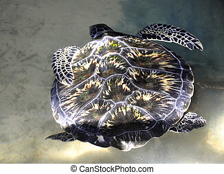 A Green Sea Turtle in Sri Lanka - A Green Sea Turtle at a...