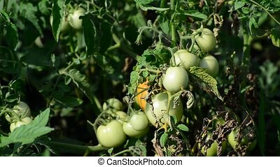 Green tomatoes in the garden