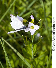 a green veined white butterfly