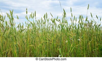 green wheat in the field, fragment - A green wheat in the...