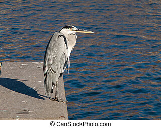 A grey Heron sitting on a quay with water in the background