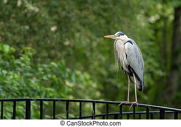 A grey heron standing on a bridge - A grey heron (Ardea ...