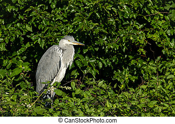 A grey heron standing on a bush - A grey heron (Ardea ...