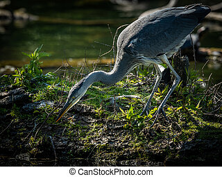 A grey heron trying to catch a fish