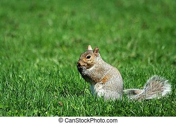 A grey squirrel eating