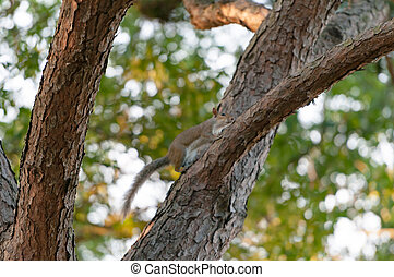 A Grey Squirrel in the branches of a Pine tree