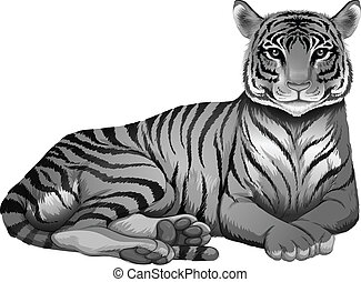 A grey tiger - Illustration of a grey tiger on a white...