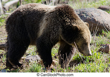 A grizzly bear roaming the forest edge