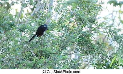 Groove-billed Ani, Crotophaga sulcirostris, in Costa Rica -...