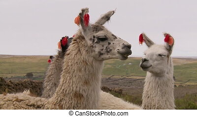 A Group Of Andean Llamas, Altiplano, Bolivia - Close-up...