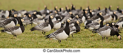 A group of barnacle geese in a green field
