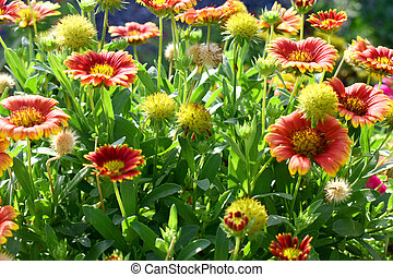 A group of beautiful red and yellow flowers in garden. Indian blanket flower (Gaillardia aristata flower)