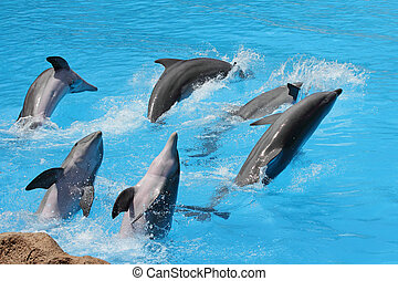 A group of bottlenose dolphins ( Tursiops truncatus) diving ...