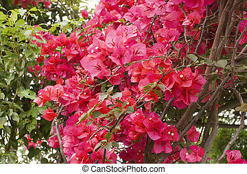 a group of bright red bougainvillea flowers.
