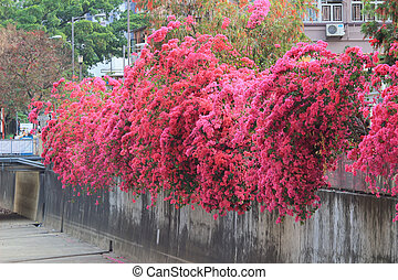 a group of bright red bougainvillea flowers