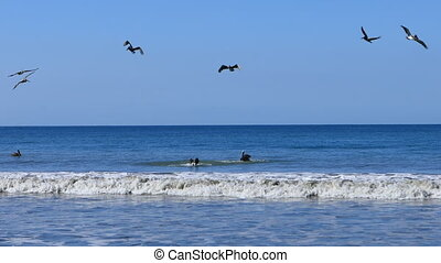 Group of Brown Pelicans, Pelecanus occidentalis, fishing in...