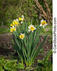A group of daffodils on a sunny day in spring