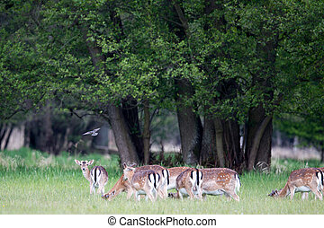 A group of Fallow Deer (Dama dama) grazing on a meadow in a nature protection area near Frankfurt, Germany, Europe.