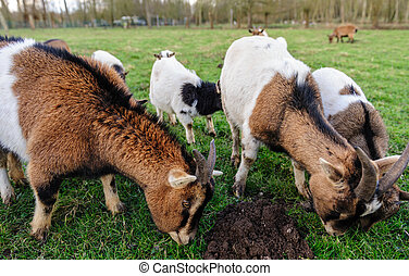 A group of Goats grazing in a field
