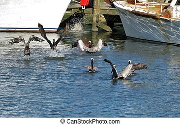 A group of grey pelicans taking flight on the water