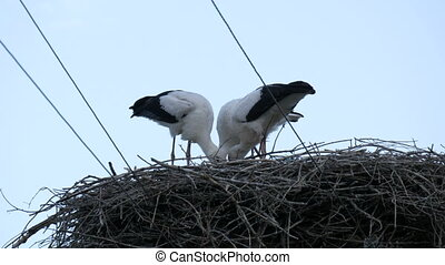 A group of large storks eat in a nest that is located high above the ground
