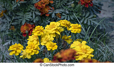 A group of Marigold yellow flower.