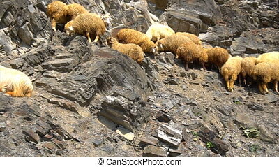 A group of mountain goats.