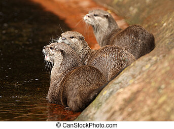Oriental Short-Clawed Otters