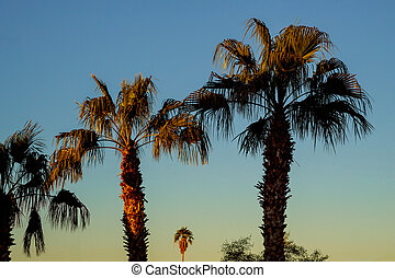 A group of palm trees in Arizona with sunset