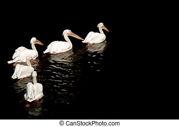 A group of pelicans with reflection on the water
