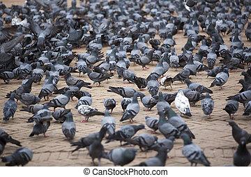 A group of pigeons at the Boudhanath Stupa in Kathmandu