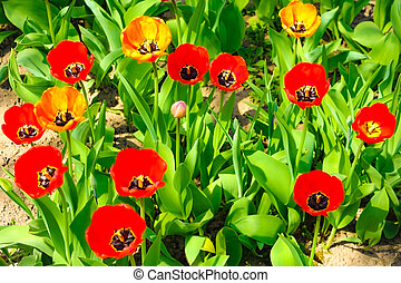 A group of red tulips in the park. Summer landscape.