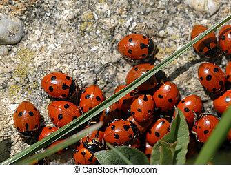 A group of seven-spot ladybirds (Coccinella septempunctata)...