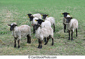 A group of sheep