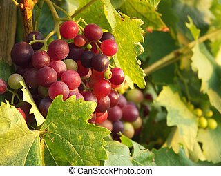 a group of some vine grapes