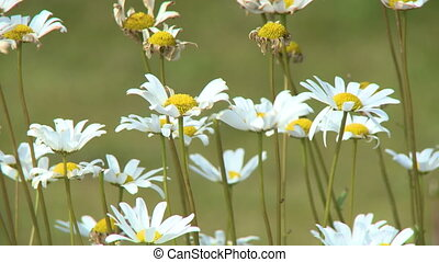 A group of white and yellow daisies