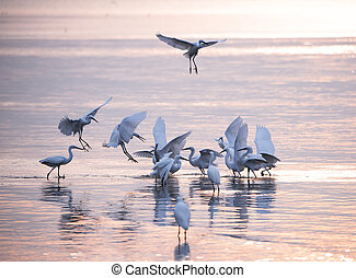 A group of White Egrets spread out for fishing