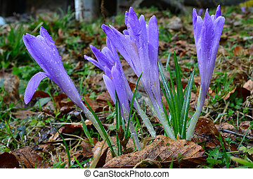 A group of wild saffron
