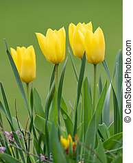 A group of yellow tulips in springtime