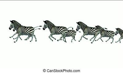 a group of zebra running.