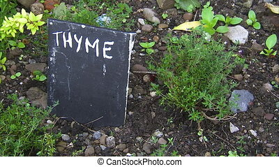 A growing thyme in Ireland - A steady shot of a growing...