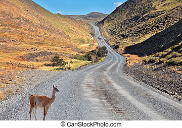 A guanaco is on the road between the hills